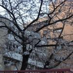 博多では桜が開花