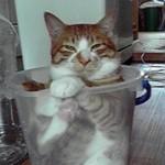 ご満悦・バケツの中の猫(The cat in a bucket )